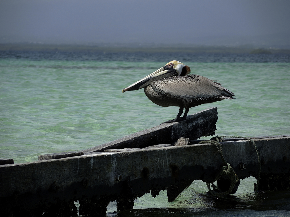 Mundo Animal de Jeff - Pelican de Caret